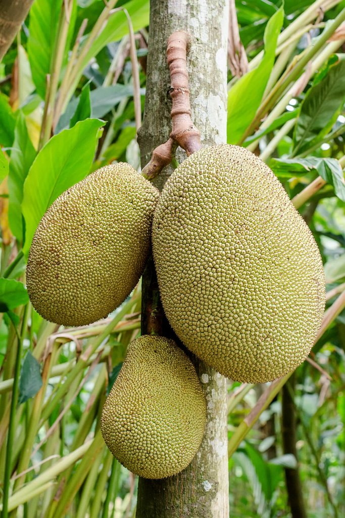 Hanging Jackfruit from Tree